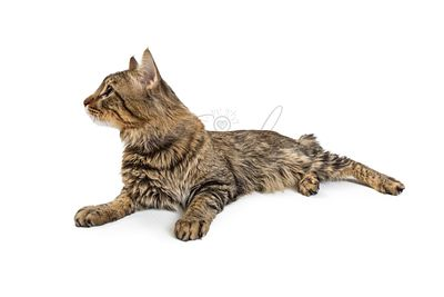 Tabby Cat Lying on White Looking Side