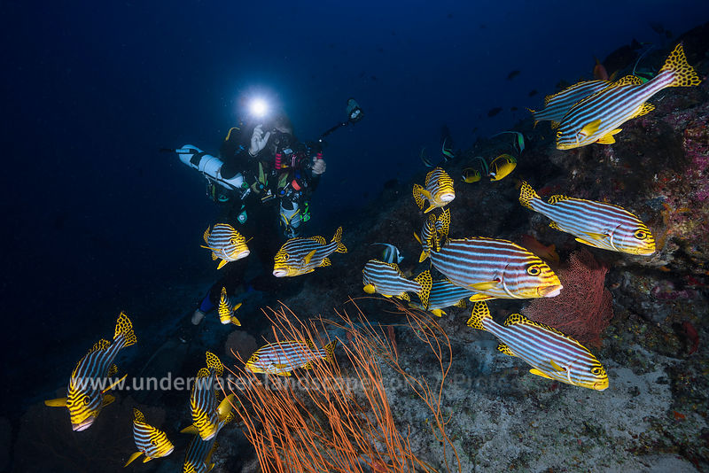 Rebreather diver and Indian ocean sweetlips