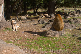 Habituated Barbary Macqaue monkies near Ifrane, Morocco; Landscape
