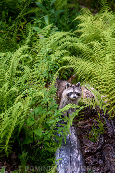 Raccoon in Hay-Scented Fern.