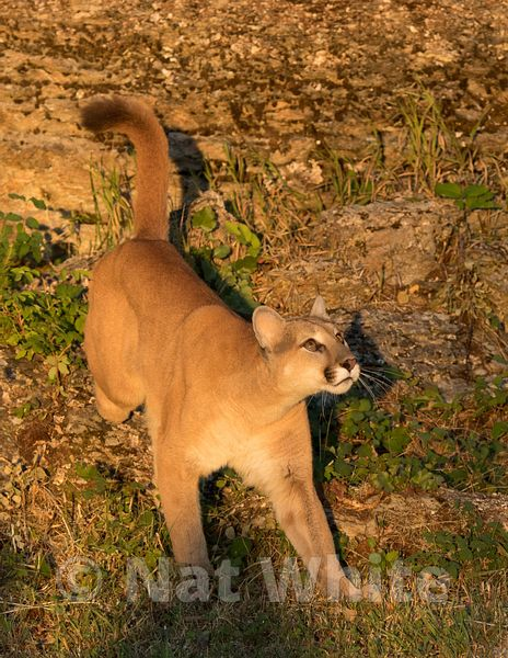Cougar-Triple_D_wildlife-22017-223-July_31_2017