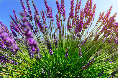 Close to the lavender plant