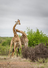 Male Southern Giraffe (Giraffa camelopardalis giraffa) fighting alongside the H1-4, Kruger National Park,  South Africa; Portrait
