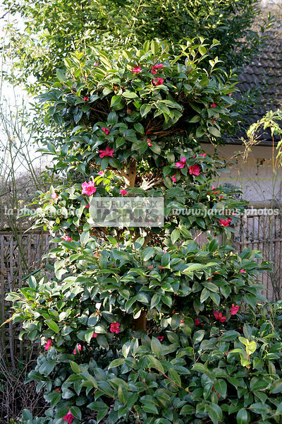la phototh que les plus beaux jardins camellia sasanqua cam lia d automne cam lia de no l. Black Bedroom Furniture Sets. Home Design Ideas