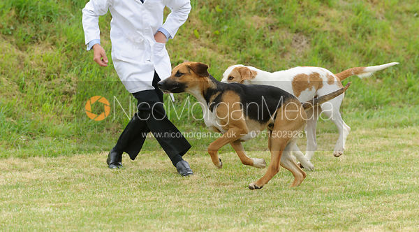 Judging the dog hounds - Cottesmore Hunt Puppy Show 2013