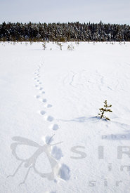 Wolverine Prints in Salamajärvi National Park