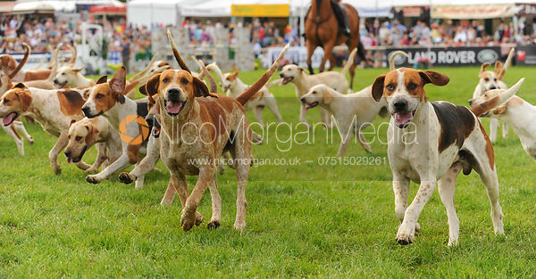 Parade of the Badsworth and Bramham Moor hounds, Bramham Horse Trials 2013.