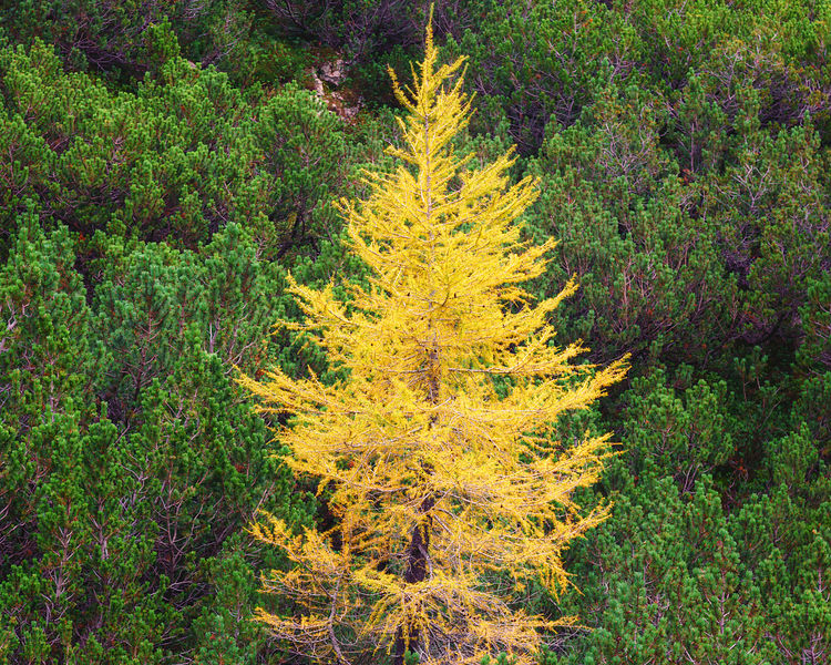 Slovenian Larch