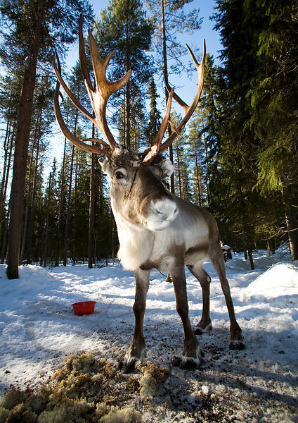 Vili, the Pet Reindeer