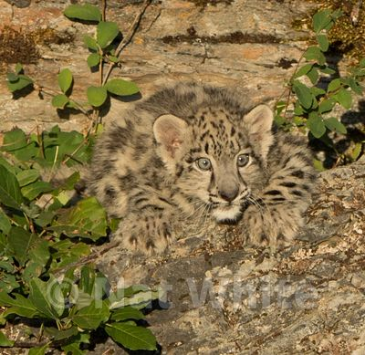 Snow_Leopard_Cub-Triple_D_wildlife-22017-960-July_31_2017