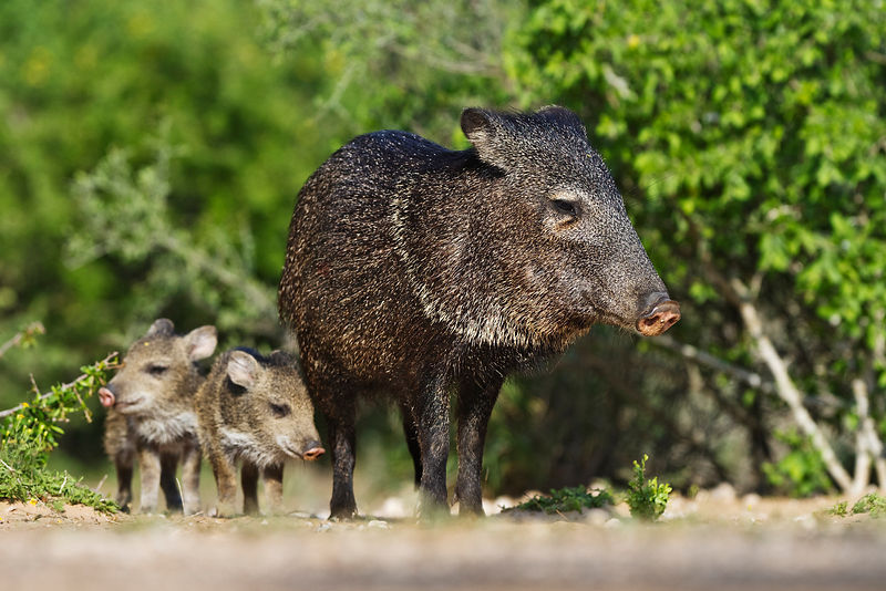 Collared Peccary and Young