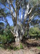 Australian Native Tree #5