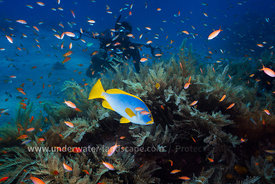 Underwater Moheli - Blue and yellow grouper