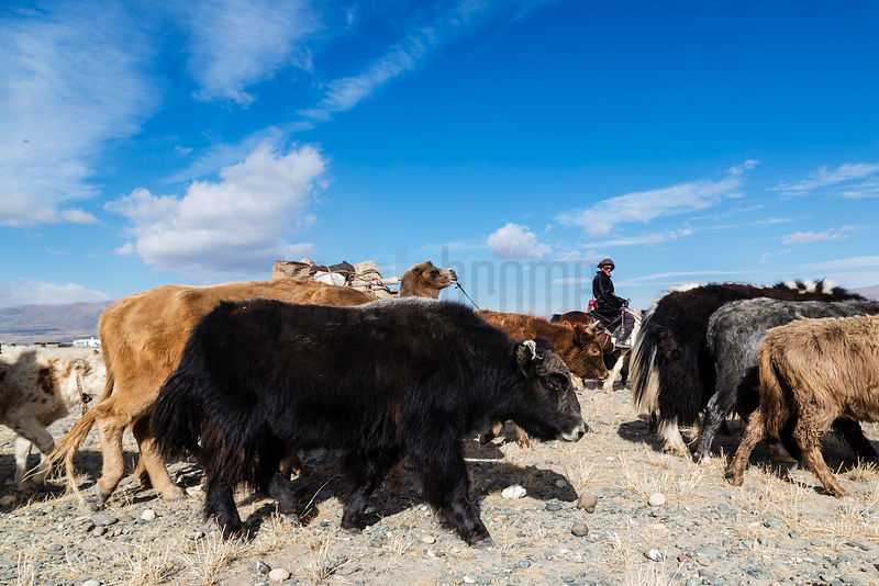 Hersman Leading Yaks to Market