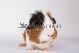 Adult guinea pig on white background with messy fur