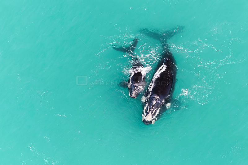 Aerial view of Southern right whale (Eubalaena australis) female with calf in shallow coastal water, South Africa, Indian Ocean.