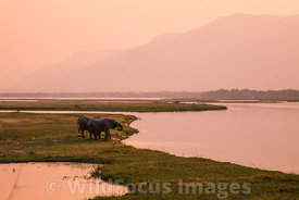African Elephant (Loxodonta africana) near the Zambezi river, Mana Pools National Park, Zimbabwe; Landscape