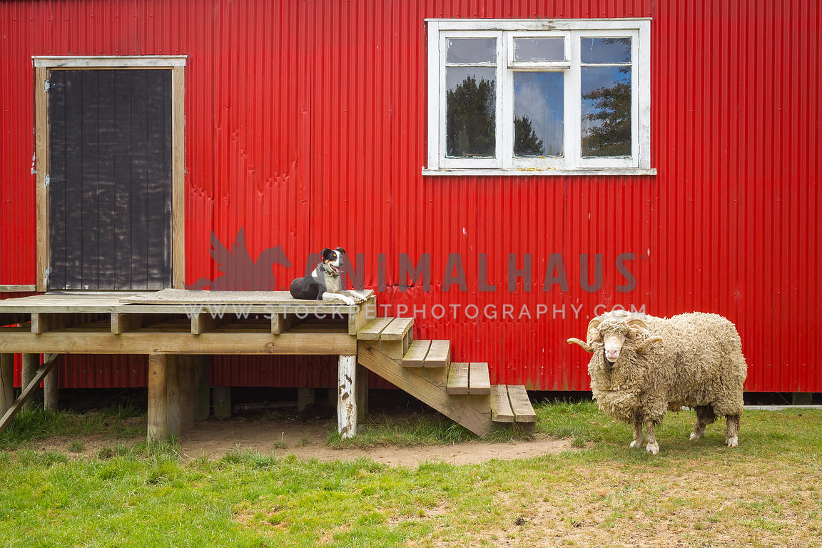sheep dog and merino ram posing outside a woolshed