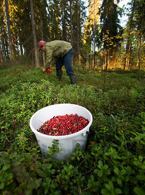 Picking lingonberries in forest