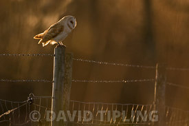 Barn Owl Tyto alba hunting late afternoon in winter Holme Norfolk