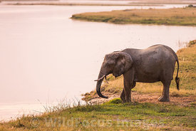 African Elephant (Loxodonta africana) by the Zambezi river, Mana Pools National Park, Zimbabwe; Landscape