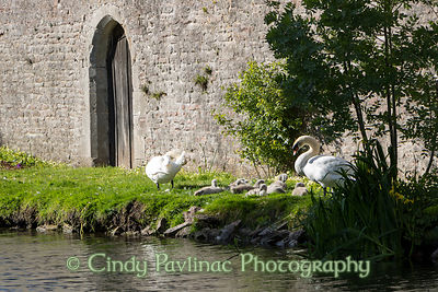 Swans and Cygnets nest