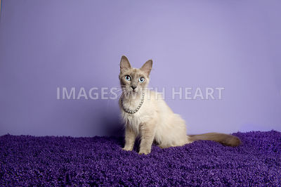 Siamese cat sitting on a rug on a purple background