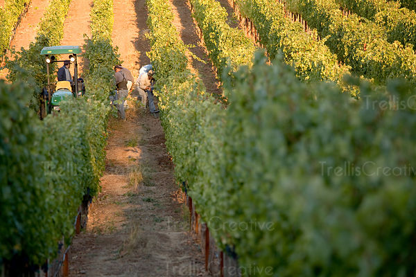 Latino workers harvest grapes at sunrise