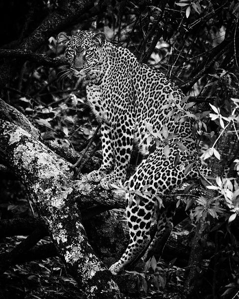 05725-Young_leopard_in_a_tree_Laurent_Baheux