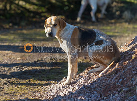 A Cottesmore Hunt foxhound