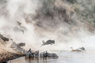 Wildebeest and Zebra Mara River Crossing
