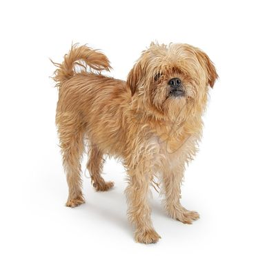 Shaggy Brown Terrier Dog Standing on White