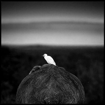 8623-Egret_on_the_back_of_the_elephant_Laurent_Baheux