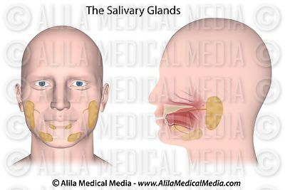 Salivary glands, unlabeled.
