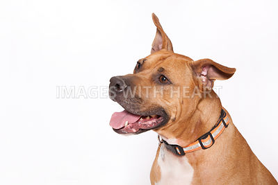 Large dog close up looking to side on white background