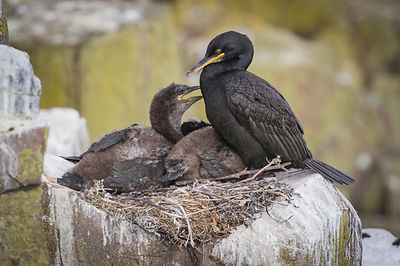 Cormorant and young on nest