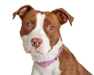 Brown and White Pit Bull Terrier Dog Closeup