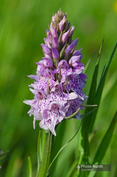 ORCHID 05A - Common spotted orchid