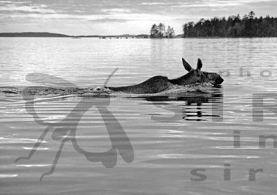 The Elk, Alces alces, Swimming Cross the Lake