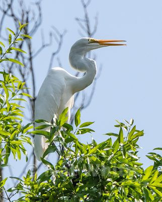 Canyon_Farm_Egret-Canyon_Farm_Egret-11-May_15_2018-May_15_2018-