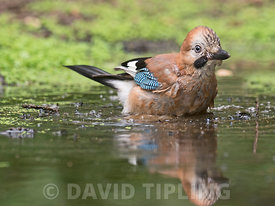 Eurasian Jay  Garrulus glandarius adult bathing in woodland pool North Norfolk summer