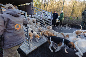Foxhounds are released from their trailer