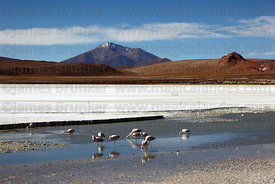 Flamingos feeding at Laguna Hedionda , Cerro Caquella volcano in background , Bolivia