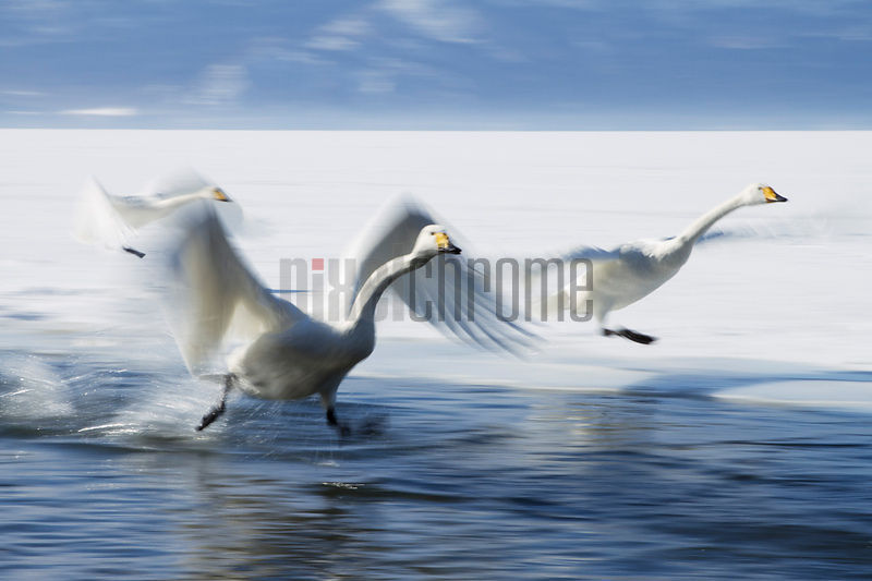 Whooper swans landing on Lake