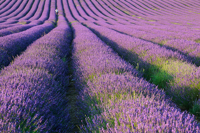 In The Lavendar Field