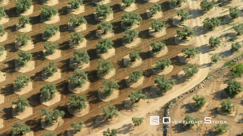 Almost Vertical Aerial View of Olive Trees in a Plantation First Parts Shows Mature Trees, Second Part Young Trees Clip Ends on Lush Green Field, Spain