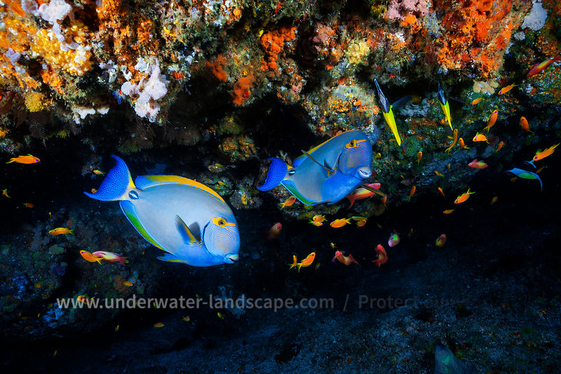 Eyestripe surgeonfish in Mozambique