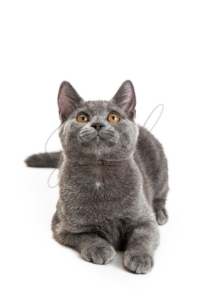 Gray Domestic Shorthair Cat Lying Looking Up
