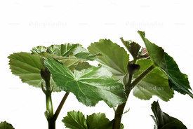 Plant with juicy leaves on white background