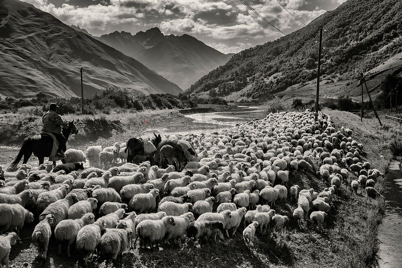 Shepherds Herding Sheep in the Sno Valley
